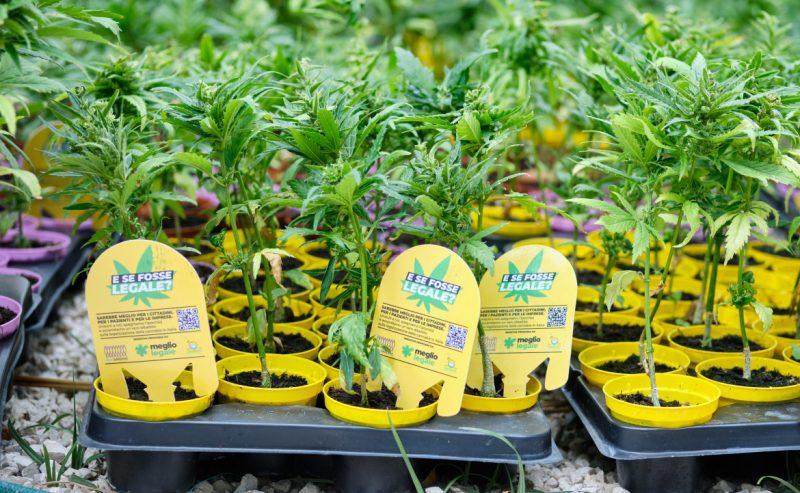 Referendum sulla cannabis a un passo dal traguardo